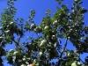 Apple Tree in village
